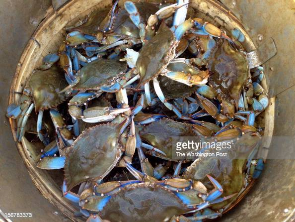 James Rice fills a bushel of 'Number 1' male blue crabs the largest crabs that the watermen sell