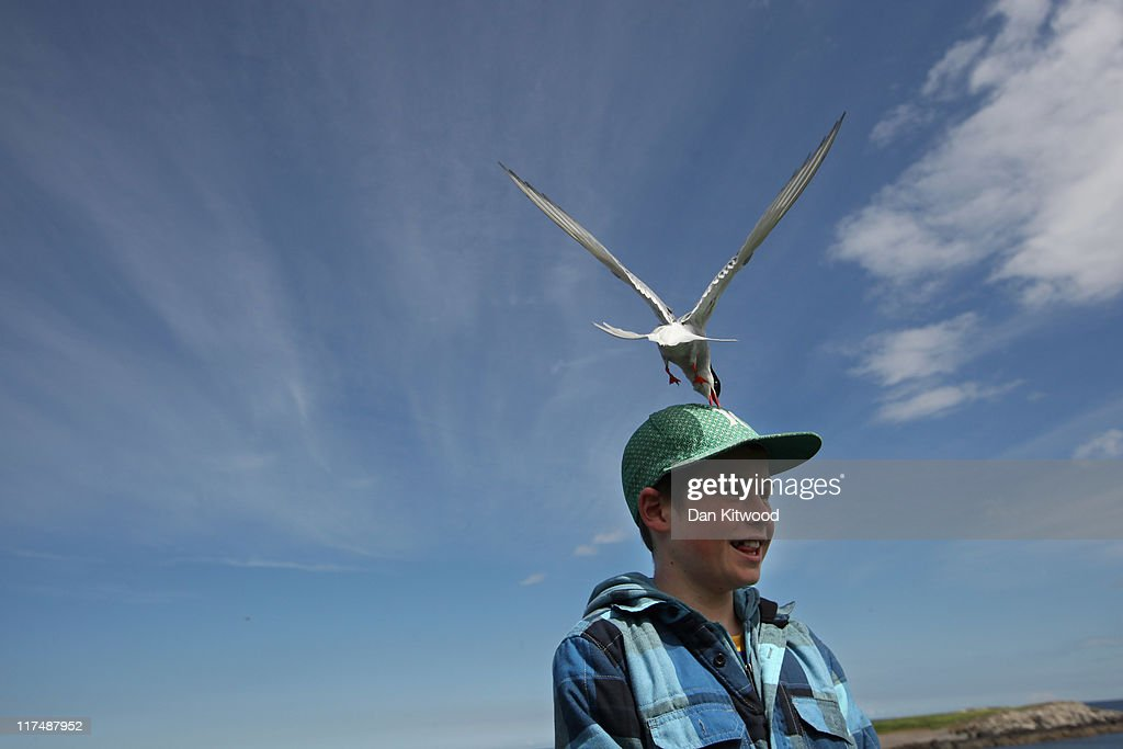 James Scott, 12, from Oamaru in New Zealand is pecked by an Arctic Tern as he walks through nesting seabirds on June 24, 2011 on Inner Farne, England. Visitors to the Farne Islands are pre-warned and advised to wear hats to protect themselves from the Terns who will dive down and attack anyone they perceive as a threat to their nest. The Farne Islands, which are run by the National Trust, are situated two to three miles off the Northumberland coastline. The archipeligo of 16-28 separate islands (depending on the tide) make the summer home to approximately 100,000 pairs of breeding seabirds including around 36,000 Puffins, 32,000 Guillemots and 2,000 pairs of Arctic Terns. The species of birds which nest in internationally important numbers include Shag, Sandwich Tern and Arctic Tern. The coastline around The Farnes are also the breeding ground to one of Europe's largest Grey Seal colonies with around 4,000 adults giving birth to 1500 pups every year.