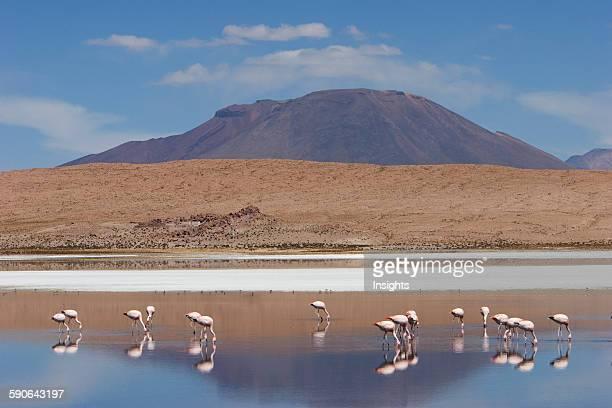 James's Flamingos Feeding On Laguna Ca