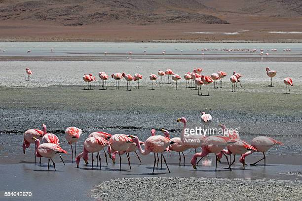 James's Flamingos foraging in the salt lake Laguna Hedionda Altiplano Bolivia