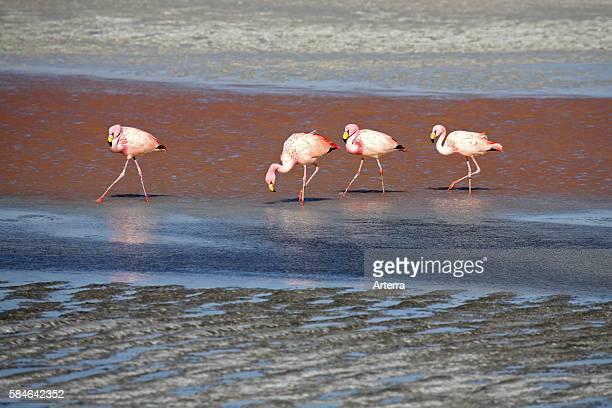 James's Flamingos in the salt lake Laguna Colorada on the Altiplano Bolivia