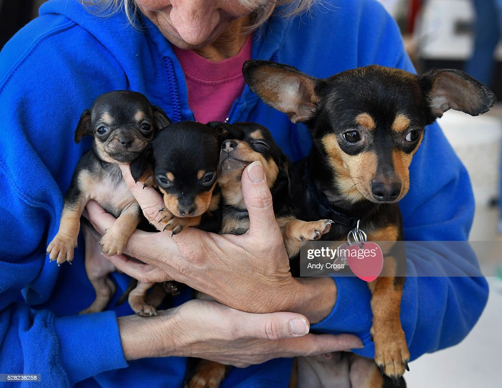 Jamie Roberson, founder of Denver Dachshund Rescue and Transport holds Magnolia, right, a Chiweenie, mix between a Dachshund and a Chihuahua and her three puppies inside the TAC Air hanger Wednesday May 04, 2016. Dog is My Copilot, a non-profit organization flew in over 90 rescue dogs and rescue cats from Texas and New Mexico to awaiting foster organizations at Centennial Airport May 04, 2016.
