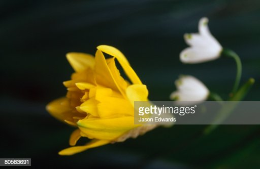 Close up of the opening petals of a yellow daffodil and snow drops. : Stock Photo
