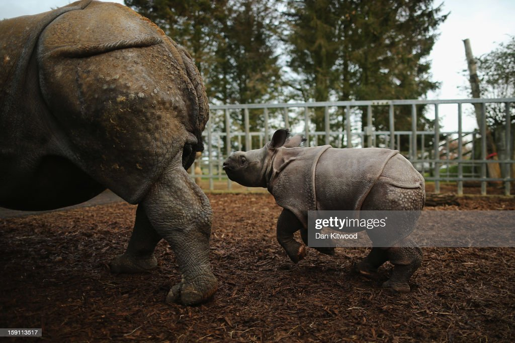 Jamil, the four week old Greater One Horned Rhinoceros runs after her mother Behan in their enclosure at Whipsnade Zoo on January 8, 2013 in Dunstable, England. The 3ft high baby rhino weighing 59kg at birth made her first public appearance today as keepers at the zoo undertook their annual stocktake.