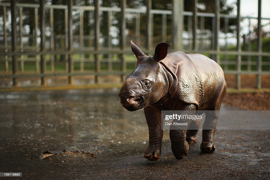 Jamil, the four week old Greater One Horned Rhinoceros runs in her enclosure at Whipsnade Zoo on January 8, 2013 in Dunstable, England. The 3ft high baby rhino weighing 59kg at birth made her first public appearance today as keepers at the zoo undertook their annual stocktake.