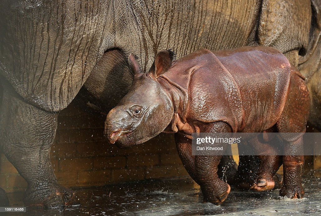 Jamil the four week old Greater One Horned Rhinoceros runs in her enclosure at Whipsnade Zoo on January 8, 2013 in Dunstable, England. The 3ft high baby rhino weighing 59kg at birth made her first public appearance today as keepers at the zoo undertook their annual stocktake.