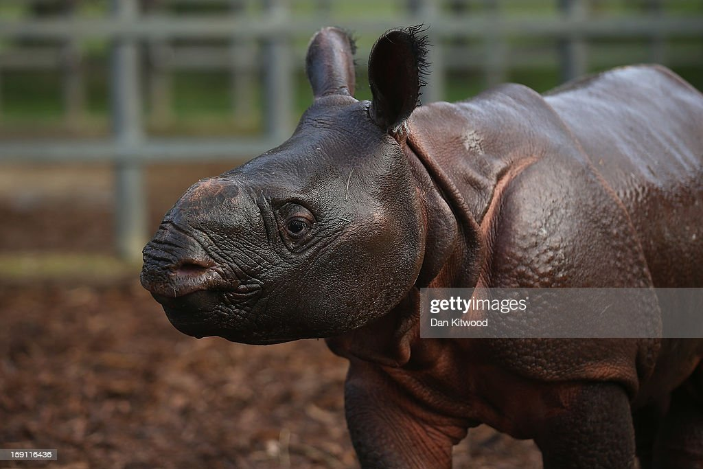 Jamil the four week old Greater One Horned Rhinoceros stands in her enclosure at Whipsnade Zoo on January 8, 2013 in Dunstable, England. The 3ft high baby rhino weighing 59kg at birth made her first public appearance today as keepers at the zoo undertook their annual stocktake.