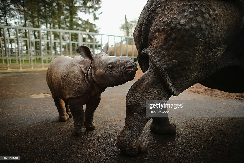 Jamil, the four week old Greater One Horned Rhinoceros stands with her mother in her enclosure at Whipsnade Zoo on January 8, 2013 in Dunstable, England. The 3ft high baby rhino weighing 59kg at birth made her first public appearance today as keepers at the zoo undertook their annual stocktake.