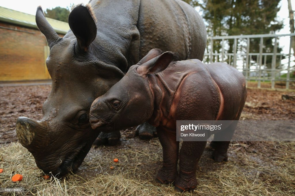 Jamil, the four week old Greater One Horned Rhinoceros stands with her mother Behan in their enclosure at Whipsnade Zoo on January 8, 2013 in Dunstable, England. The 3ft high baby rhino weighing 59kg at birth made her first public appearance today as keepers at the zoo undertook their annual stocktake.