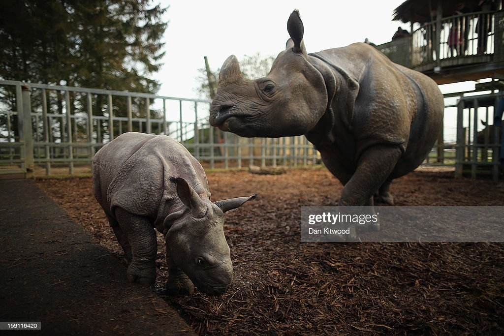 Jamil the four week old Greater One Horned Rhinoceros stands with her mother Behan in their enclosure at Whipsnade Zoo on January 8, 2013 in Dunstable, England. The 3ft high baby rhino weighing 59kg at birth made her first public appearance today as keepers at the zoo undertook their annual stocktake.