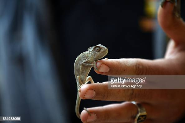 GIZA Jan 18 2017 Photo taken on Jan 14 2017 shows a lizard crawling on a man's hand at Tolba's private zoo in Giza Egypt Africano Tolba Village is a...