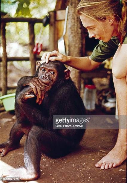 Jane Goodall appears in the television special 'Miss Goodall and the World of Chimpanzees' originally broadcast on CBS Wednesday December 22 1965...