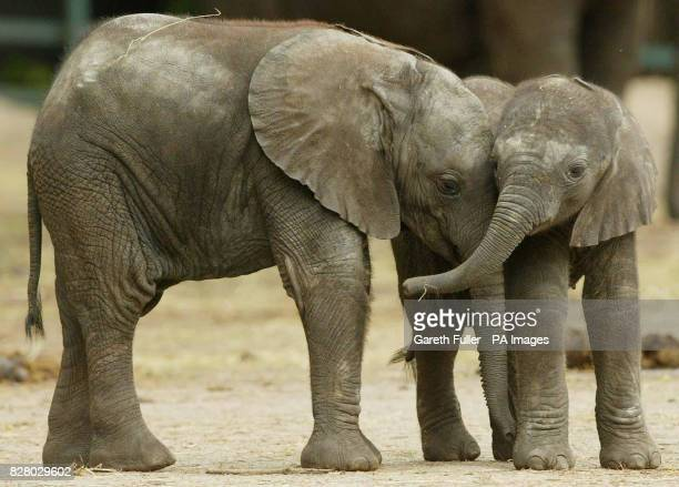 Janu a threeweekold baby African bull elephant gets to know his 3monthold halfsister Jara during his first public outing after his birth