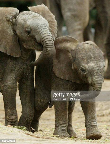 Janu a threeweekold baby African bull elephant leads his 3monthold halfsister Jara around the enclosure during his first public outing after his birth