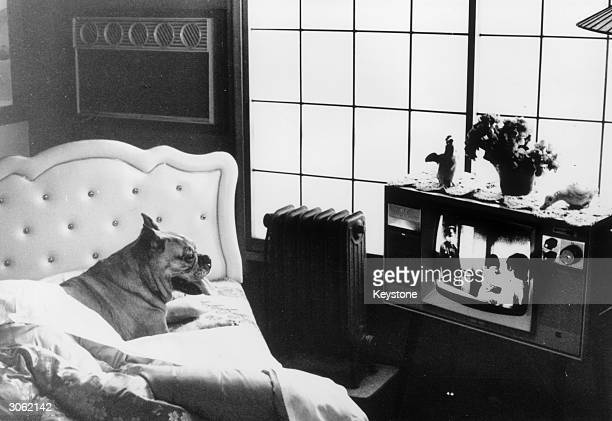 A pet dog relaxing in the airconditioned luxury Iwamoto Animal Hospital in the Wakano district of Tokyo where Japanese dog lovers send their pets for...