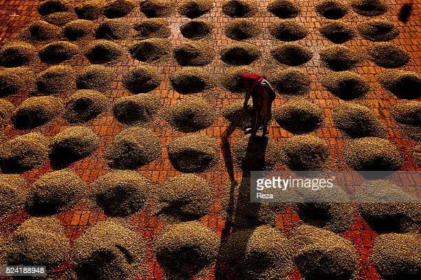 January 2013 Kumbrikhan plantation Chickmagalur district Karnataka India Coffee beans are laid bare beneath the sun at the Kumbrikhan plantation in...