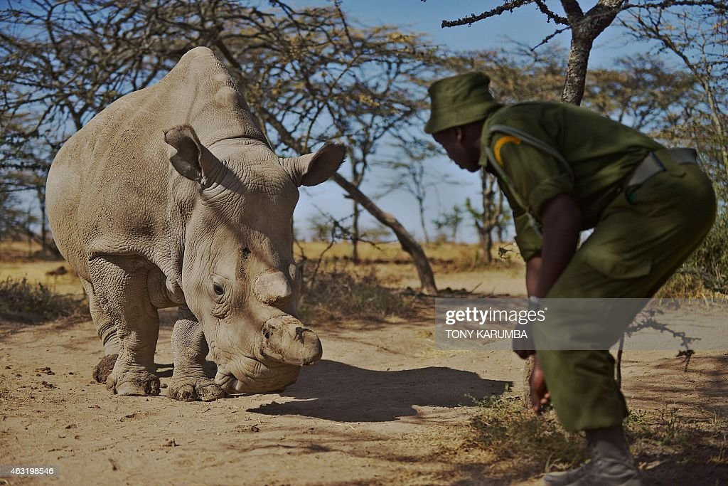A January 27 2015 file photo shows a park ranger stands next to a nothern white female rhinoceros named Najin at Ol Pejeta Conservancy some 290 kms...