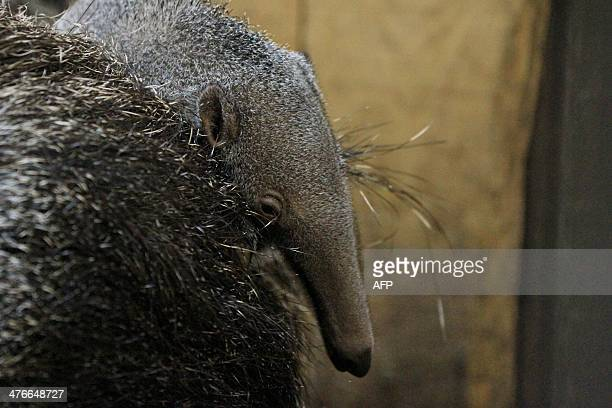 A January born anteater is pictured in its enclosure at the zoo in Zlin eastern Moravia Czech Republic on March 4 2014 Anteaters are rarely born in...