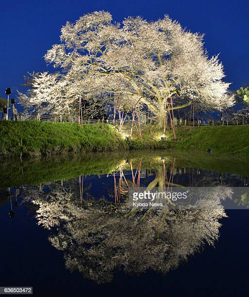 KURUME Japan A cherry tree known as Asai no Ippon Zakura is seen in bloom and illuminated up on a trial basis in Kurume Fukuoka Prefecture on March...
