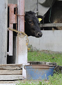 ASAKAWA Japan A cow is pictured on July 15 at a cattle farm in Asakawa Fukushima Prefecture where straw feed for cows had been found to contain high...