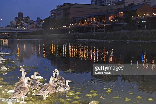 KYOTO Japan A duck family is seen floating on the Kamo River in Kyoto's Sakyo Ward on June 7 after marching from a pond near Yoboji temple earlier in...