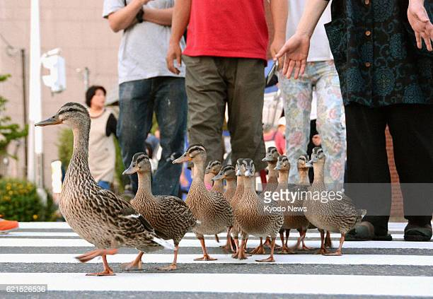 KYOTO Japan A duck leads 10 ducklings as the family marches toward the Kamo River from a pond near Yoboji temple in Kyoto's Sakyo Ward on June 7 2013...
