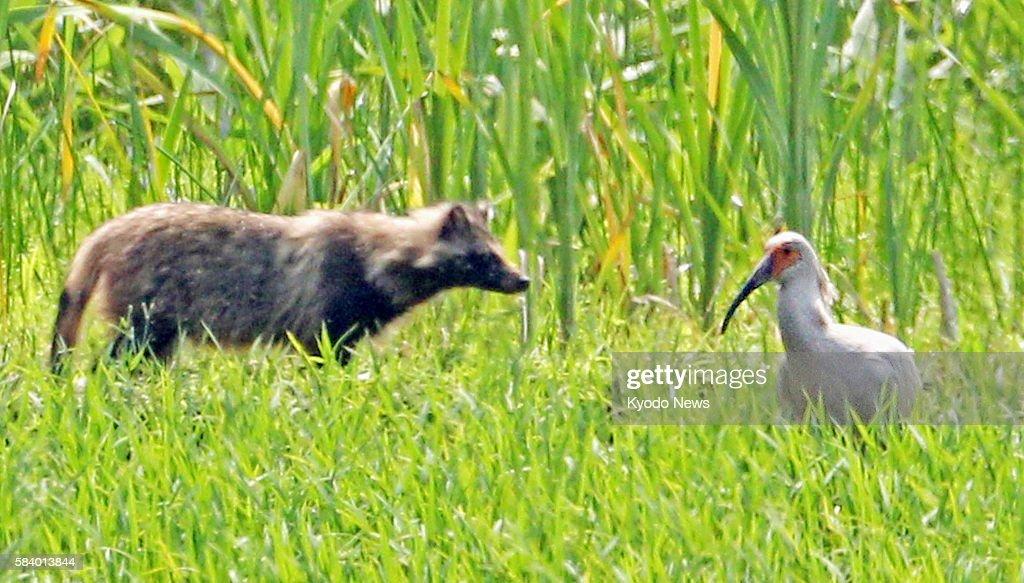 SADO Japan A young crested ibis encounters a raccoon dog in Sado Niigata Prefecture on June 7 2012