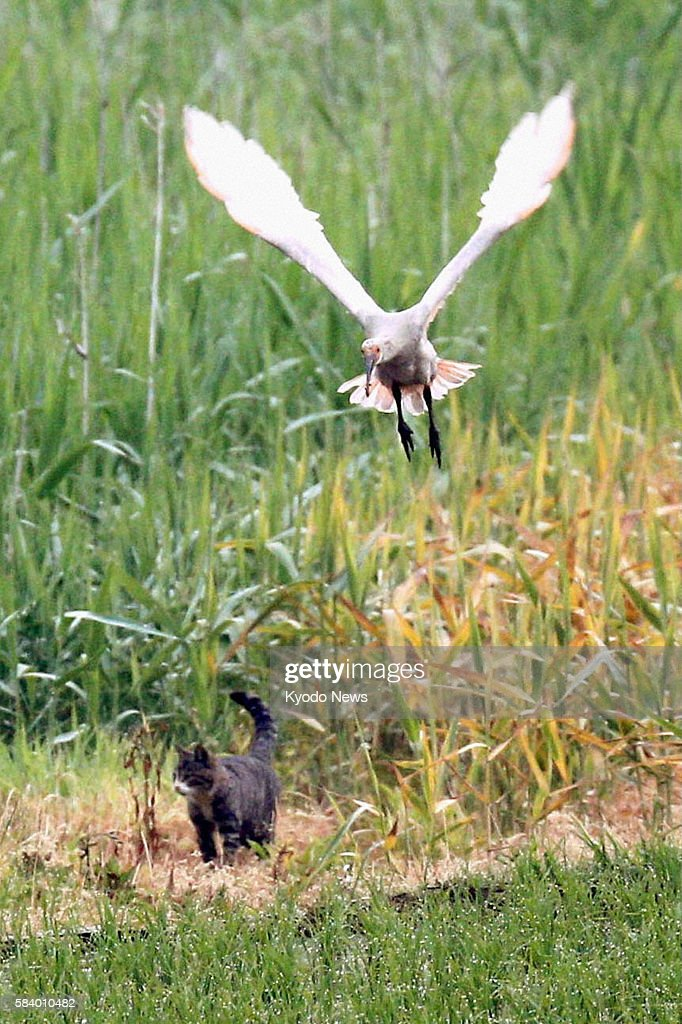 SADO Japan A young crested ibis flies away from a cat in Sado Niigata Prefecture on June 3 2012