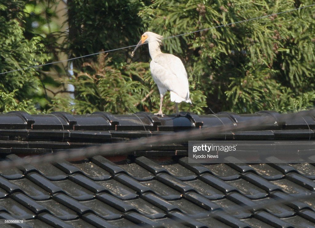 SADO Japan A young crested ibis is perched on a rooftop in Sado Niigata Prefecture on May 31 2012 The bird was one of three crested ibis chicks born...