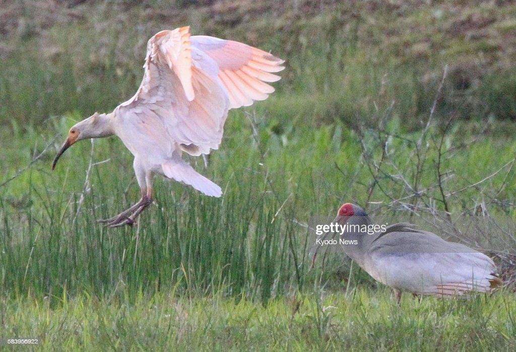 SADO Japan A young crested ibis lands beside one of its parents in a fallow rice paddy in Sado Niigata Prefecture on June 1 2012 The young bird is...