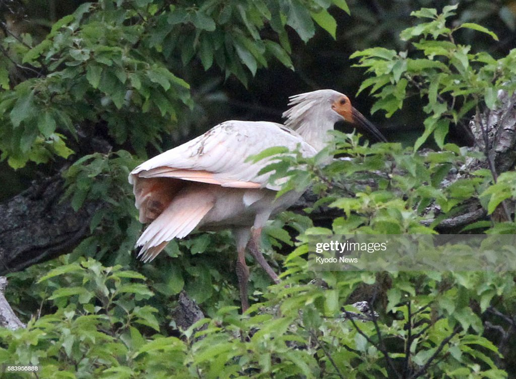 SADO Japan A young crested ibis stands on a tree branch in Sado Niigata Prefecture on May 31 2012 The bird was one of three crested ibis chicks born...