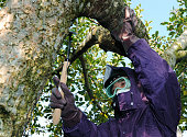 FUKUSHIMA Japan An employee of a local agricultural association in nuclear crisishit Fukushima strips bark of an apple tree in an attempt to remove...