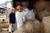 FUKUSHIMA Japan An official of the city of Minamisoma in Fukushima Prefecture puts straw for cattle into a bag for radiation testing at a farm in the...