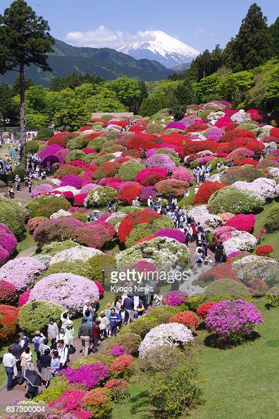 YOKOHAMA Japan Azaleas are now at their peak shown against a backdrop of Mt Fuji in this photo of the garden at Hotel de Yama in Hakone Kanagawa...