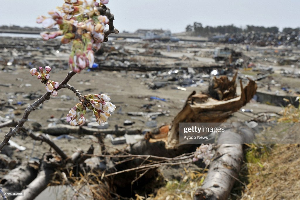 NATORI Japan Cherry blossoms bloom on a branch of a broken tree against the backdrop of rubble in Natori Miyagi Prefecture on April 21 2011 The area...
