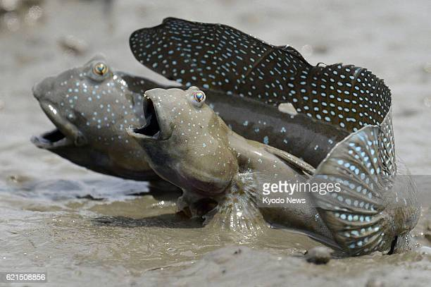 TOKYO Japan File photo shows mud hoppers in Ogi Saga Prefecture in June 2012 The population of mud hoppers in the Ariake Sea in southwestern Japan...