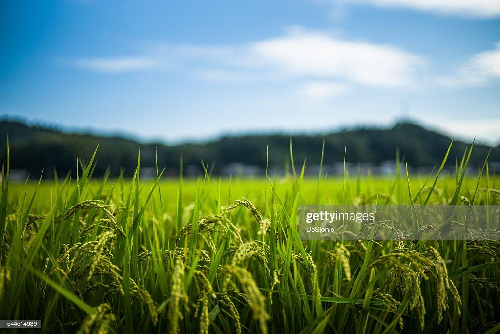 Japan, Fresh green grass