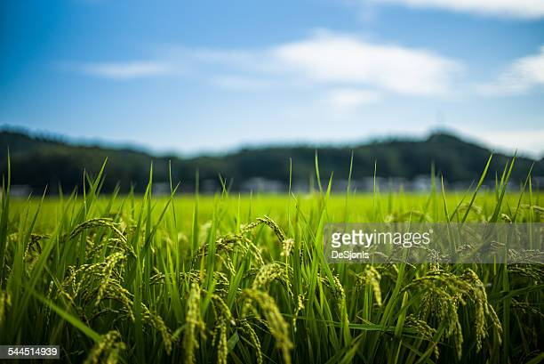 Japan, Fresh green grass