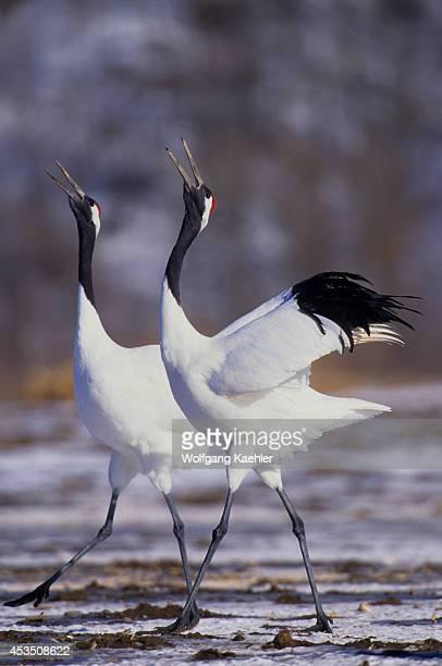 Japan Hokkaido Island Near Kushiro Tsurui Japanese Cranes Calling