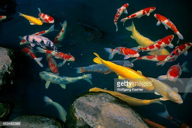 Japan Honshu Islandmatsue Old Town Restaurant With Japanese Garden Pond With Colorful Carp