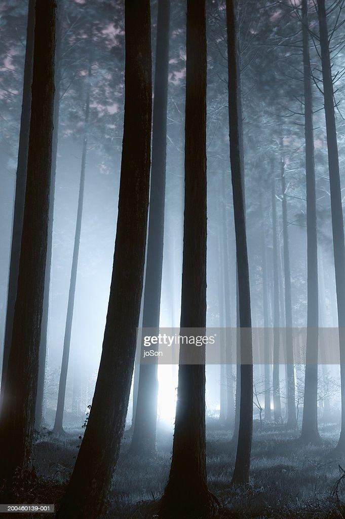 Japan, Honshu, Tokyo, misty woods at dusk : Stock Photo