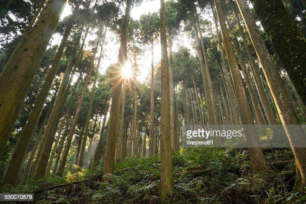 Japan, Kurama, Cedar trees