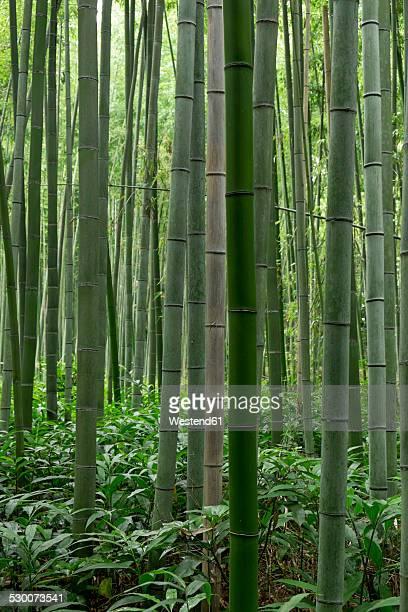Japan, Kyoto, Arashijama, Bamboo forest