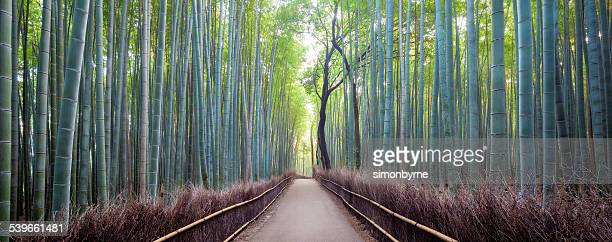 Japan, Kyoto, Arashiyama bamboo forest at sunrise
