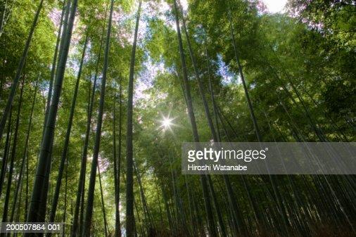 Japan, Kyoto, Arashiyama, bamboo grove, low angle view : Stock Photo