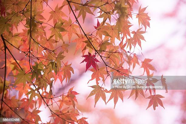Japan Maple Leafs in autumn
