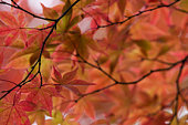 Japan, Maple tree in Fall colors, close-up