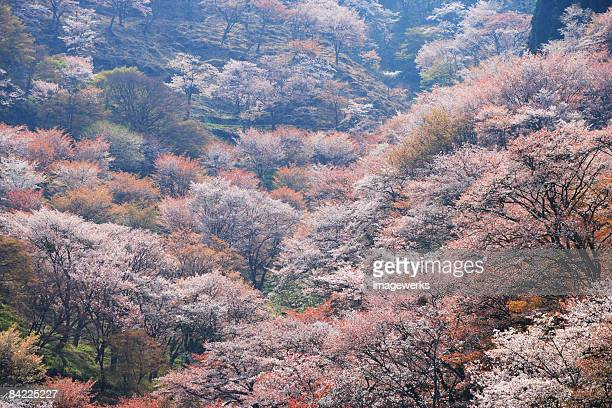 Japan, Nara, Yoshino, Cherry blossom on mountains, high angle view