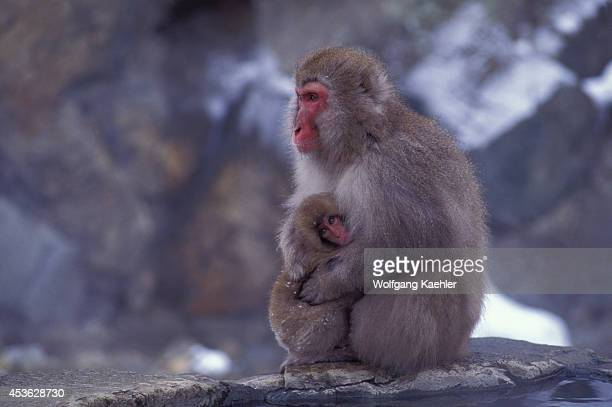 Japan Near Nagano Jigokudani Japanese Macaques Snow Monkeys Mother With Baby