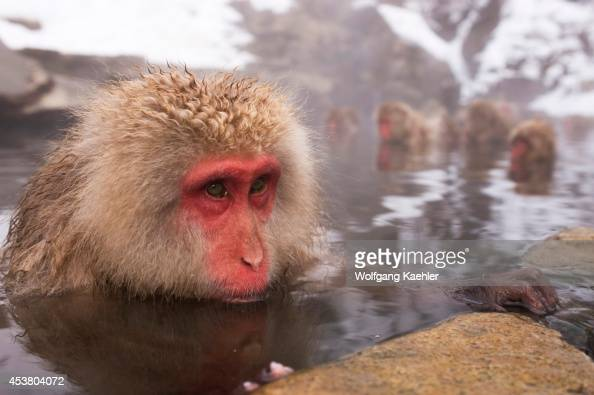 Japan Near Nagano Jigokudani Snow Monkey Sitting In Hot Spring